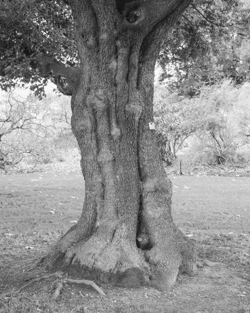 """""""Holm Oak"""" Quercus ilex 1969-14281"""