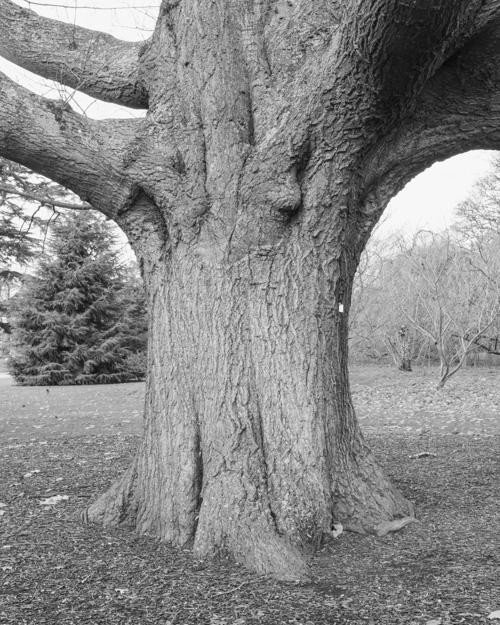 """Red Oak"" Quercus rubra 1969-16191"