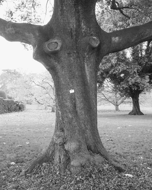 """""""Holm Oak"""" Quercus Ilex 1969-14285"""