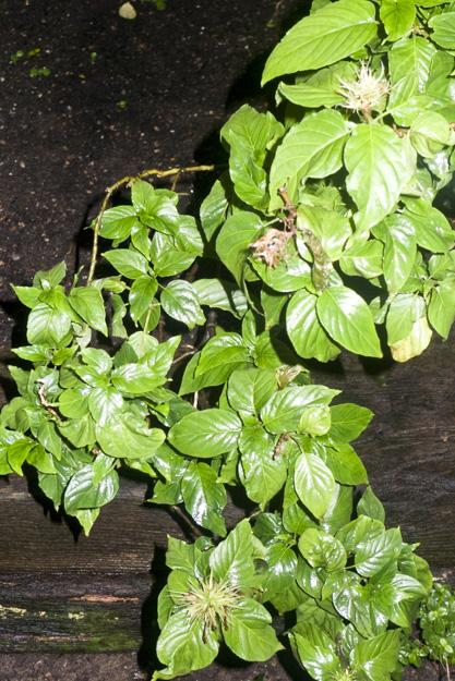 1995-108 Schaueria calycotricha Brazil
