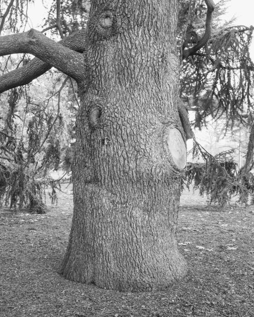 """Atlas Cedar"" Cedrus Atantica 1969-13155"