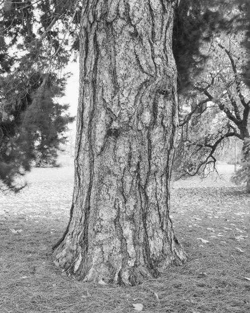 """Austrian Pine"" Pinus Nigra 1969-13256"