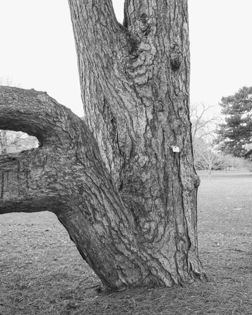 """Austrian Pine"" Pinus Nigra 1969-18426"