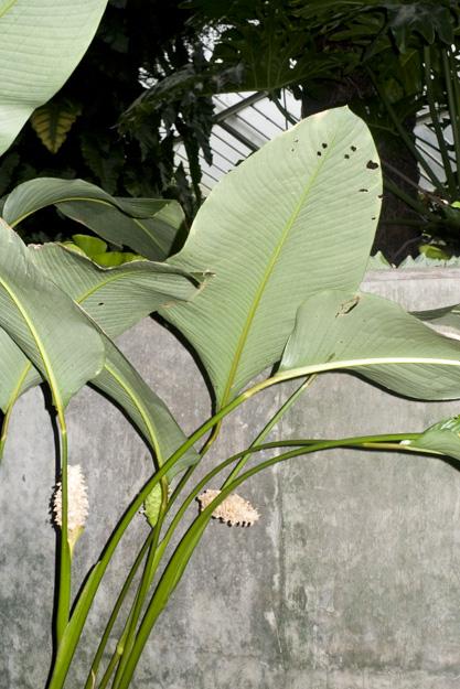 1981-4187 Calathea cylindrica Brazil