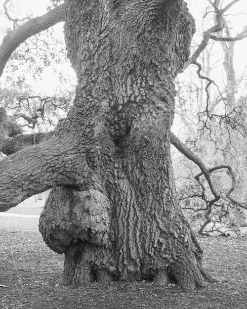 """Lucombe Oak"" Quercus X Hispanica 'Lucombeana' 196916005"