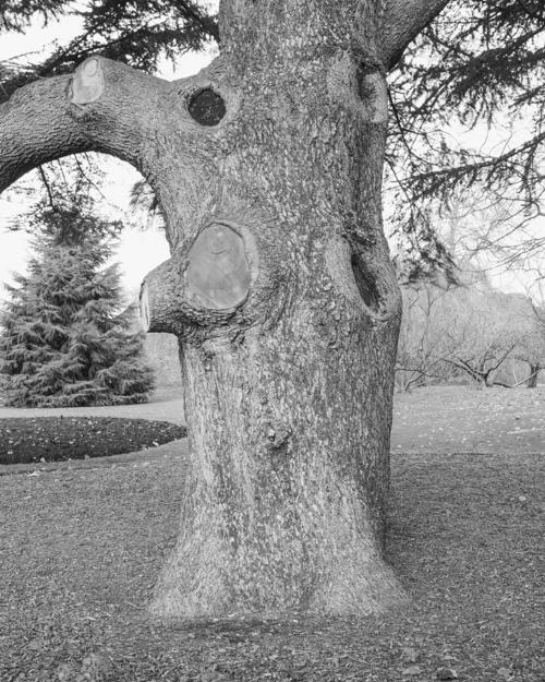 """""""Atlas Cedar"""" Cedrus atlantica 1969-13153"""