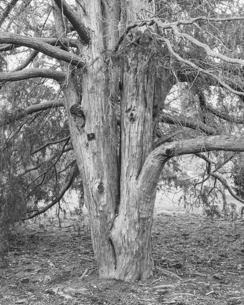 """English Yew"" Taxus baccata 1973-17898"