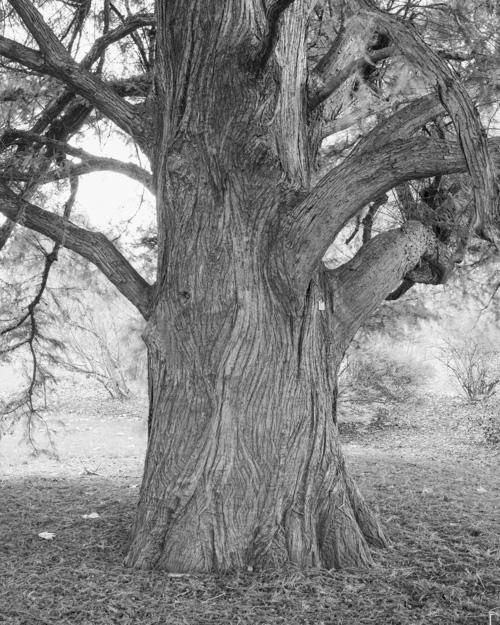 """Swamp Cypress"" Taxodium distichum 1972-10971"